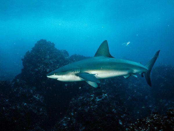 Galapagos-shark_6449_600x450